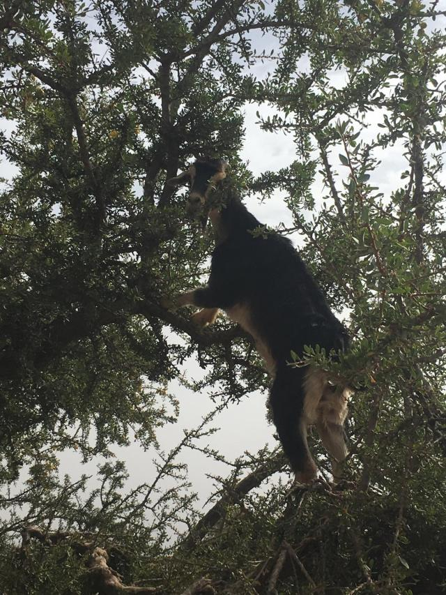 Argan tree climbing goat, Tizi N'Test, Morocco