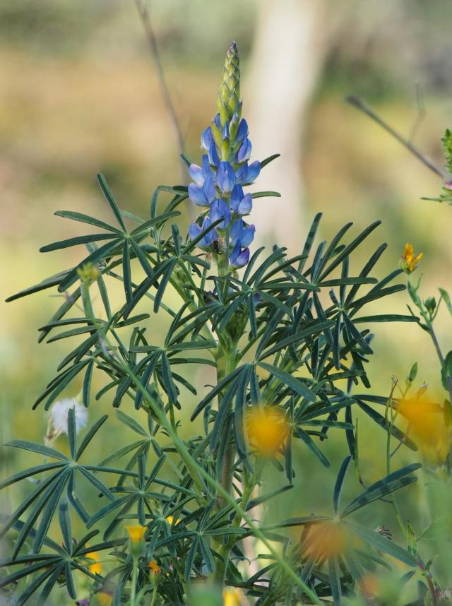 Blue lupin (Lupinus angustilofius), leaves and inflorescence