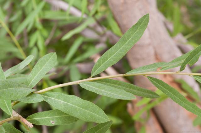 Boscia (Boscia angustifolia) leaves, Burkina Faso