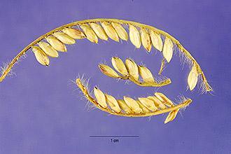 Bread grass (Brachiaria brizantha) inflorescence