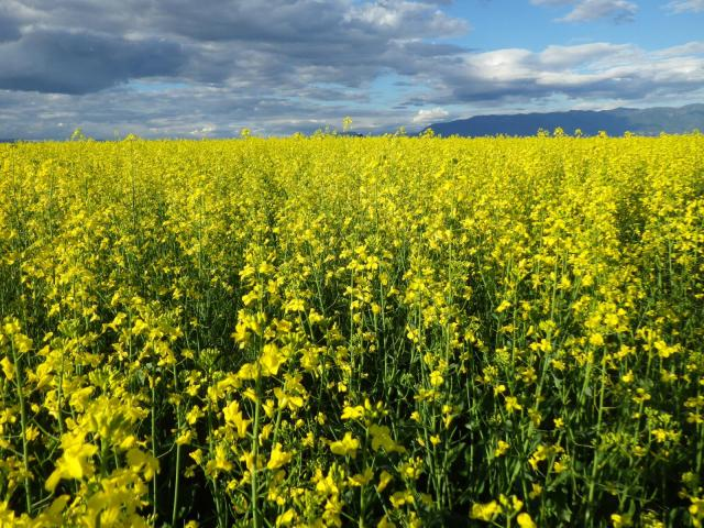 Rapeseed (Brassica rapa) field, USA