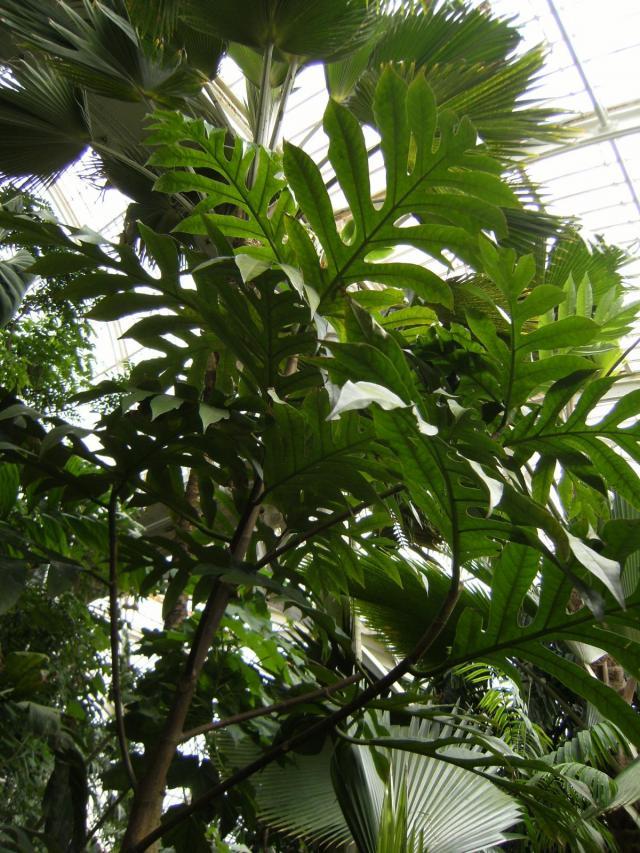 Breadfruit (Artocarpus altilis), habit, Kew Gardens, London