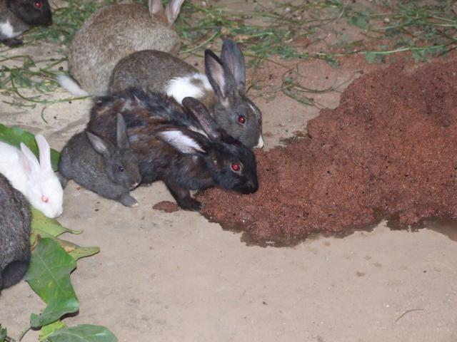 Rabbits eating wet brewers grain in Africa