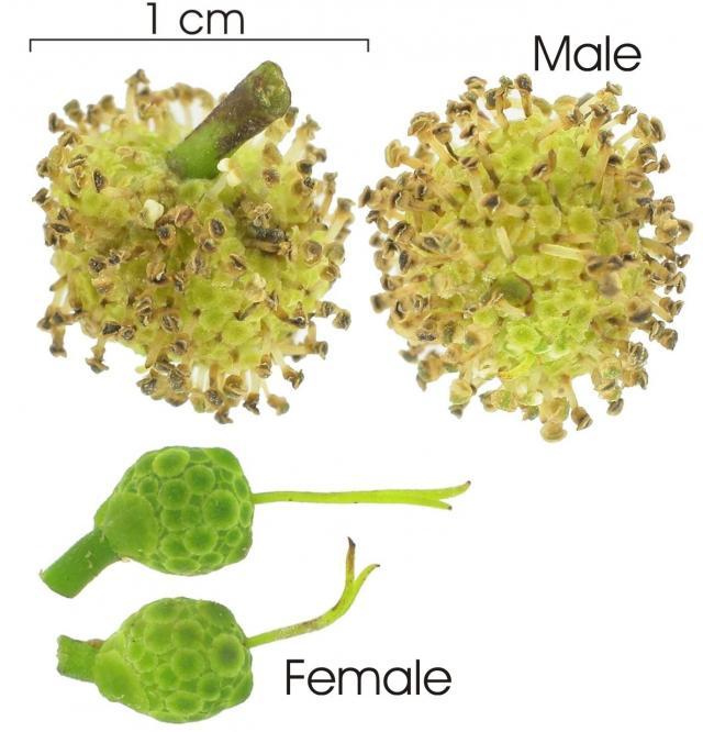 Breadnut tree (Brosimum alicastrum), flowers, male and female