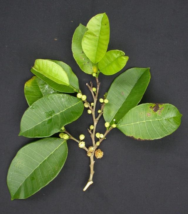 Breadnut tree (Brosimum alicastrum), flowers and leaves