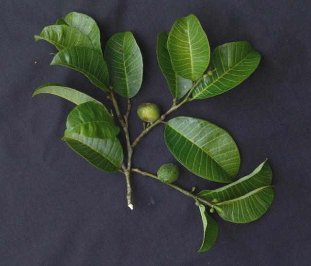 Breadnut tree (Brosimum alicastrum), fruit and foliage