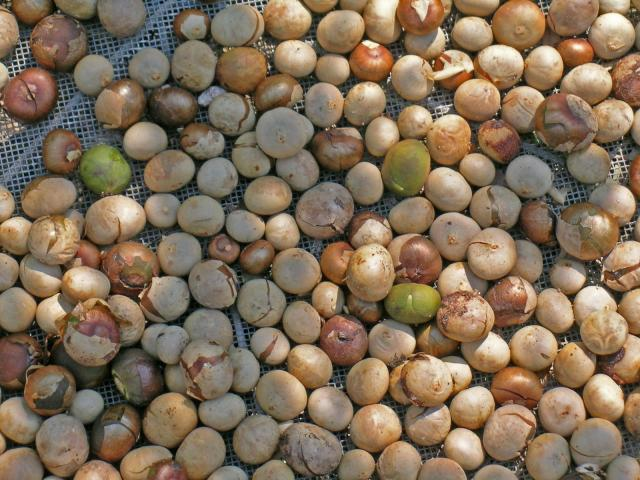 Breadnut tree (Brosimum alicastrum), sun-frying fruits
