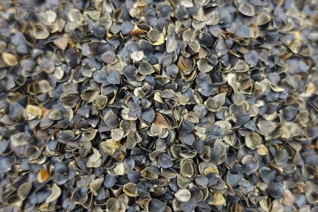 Buckwheat (Fagopyrum esculentum) hulls