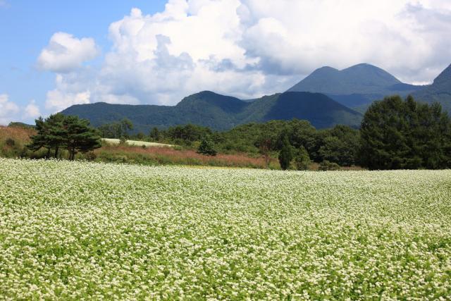 Buckwheat (Fagopyrum esculentum) full-bloom field, Japan