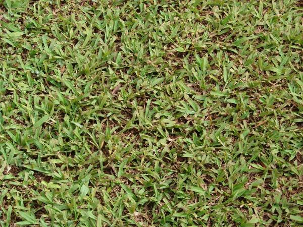 Buffalo grass (Paspalum conjugatum)