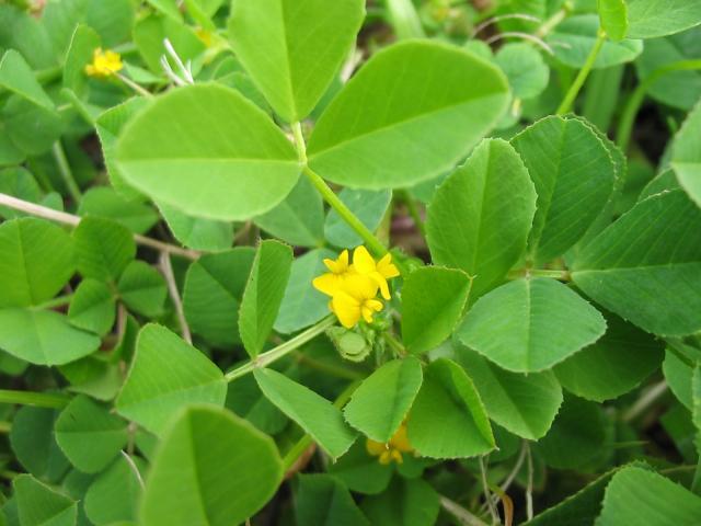 Bur clover (Medicago polyphorma), flower and leaves