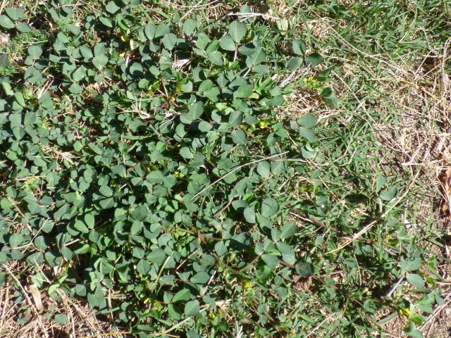 Bur clover (Medicago polymorpha), habit