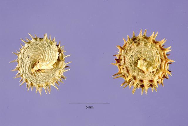 Bur clover (Medicago polymorpha), pods
