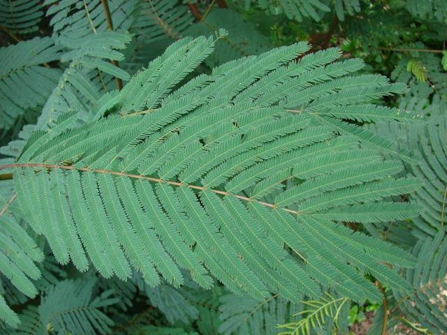 Calliandra (Calliandra calothyrsus), leaves, Hawaii
