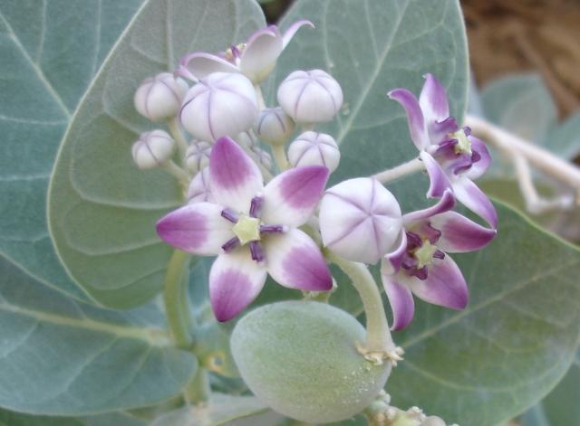 Calotropis procera flowers