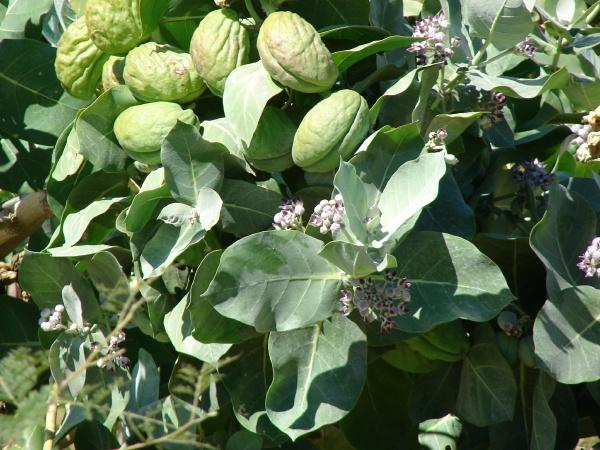 Calotropis procera: leaves, flowers and seedpods