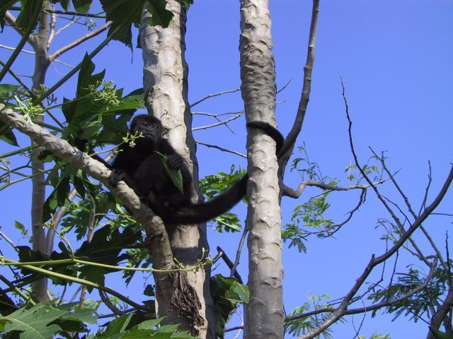 Howler monkey eating leaves of Carica papaya