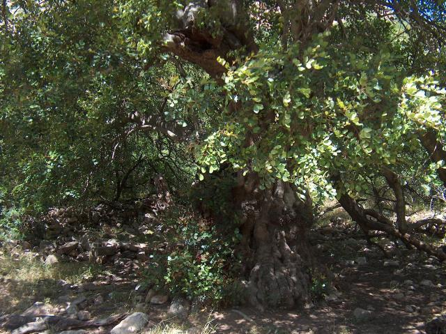 Carob tree (Ceratonia siliqua L.)