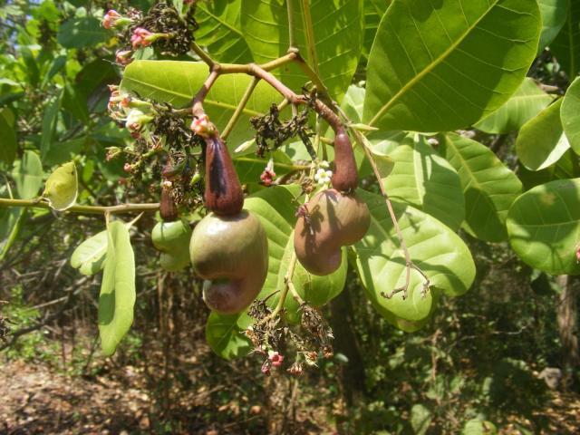 Cashew (Anacardium occidentale) nut and unripe apple