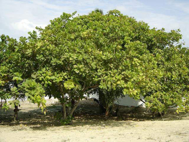 Cashew (Anacardium occidentale) tree habit, Brazil