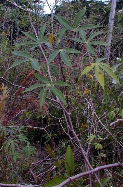 Cassava plant in a slash-and-burn cultivation system. French Guyana.