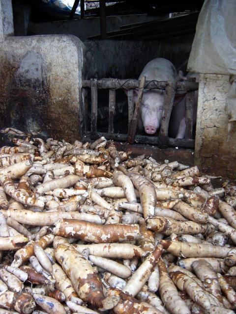Cassava roots, Vietnam