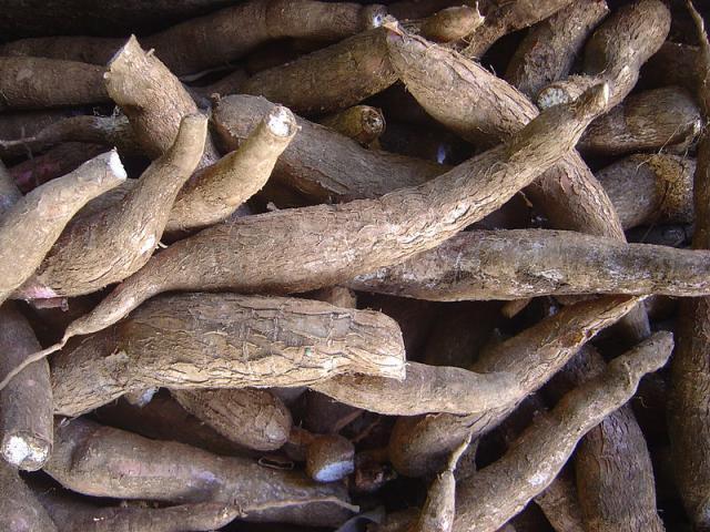 Cassava tubers, fresh