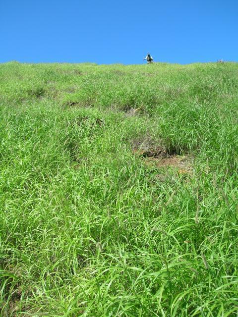 Buffel grass (Cenchrus ciliaris)