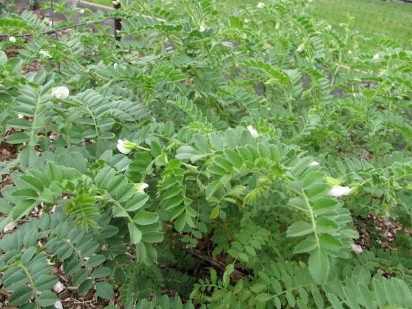 Chickpea (Cicer arietinum) flowering