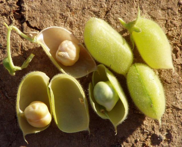 Chickpea (Cicer arietinum) pods and seeds