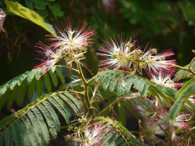 Chinese albizia (Albizia chinensis), flowers