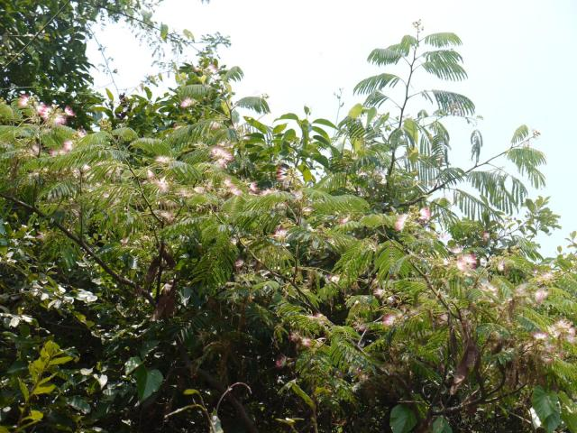 Chinese albizia (Albizia chinensis), habit