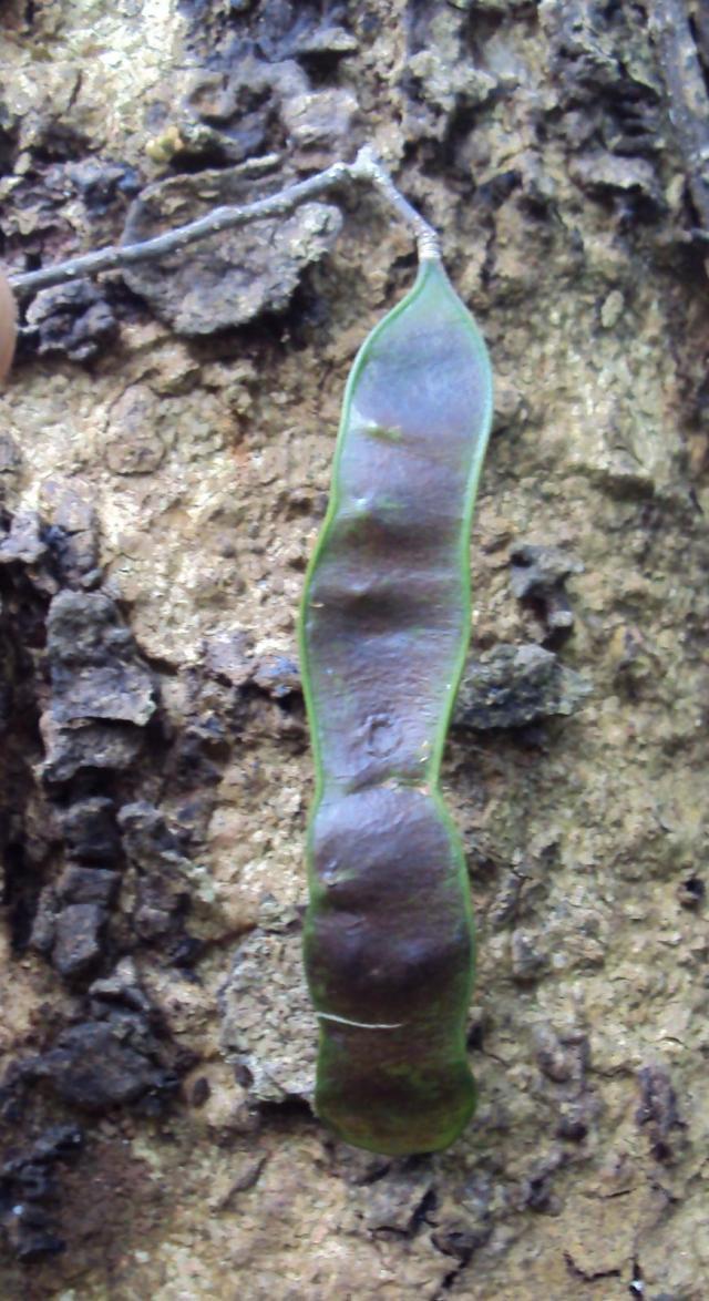 Chinese albizia (Albizia chinensis), pod