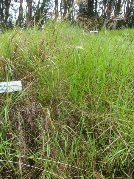 Rhodes grass (Chloris gayana), habit, Hawaii