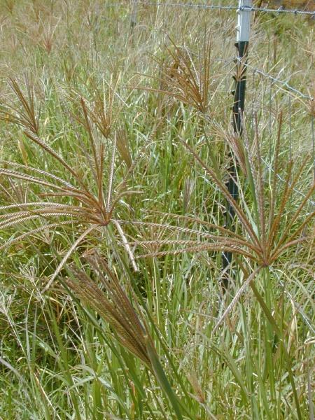 Rhodes grass (Chloris gayana), seed heads, Hawaii