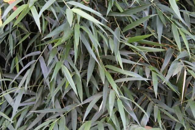 Quila (Chusquea quila), leaves
