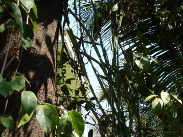 Hadjod growing on a mango tree