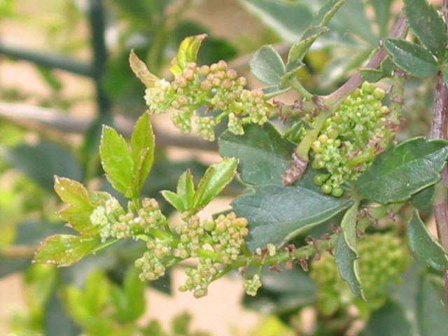 Cissus (Cissus striata) inflorescences