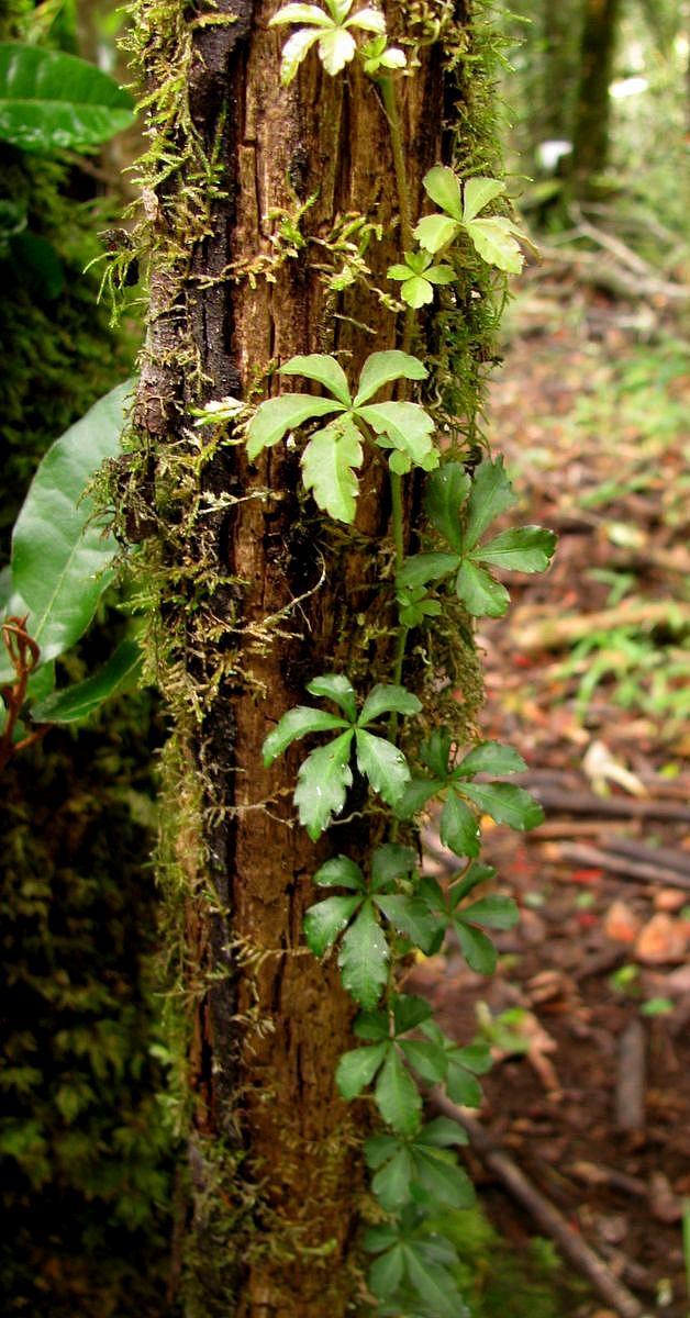 Cissus (Cissus striata), stems and leaves