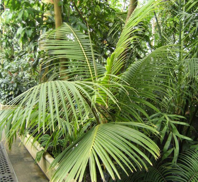 Coconut tree, Kew Gardens, London