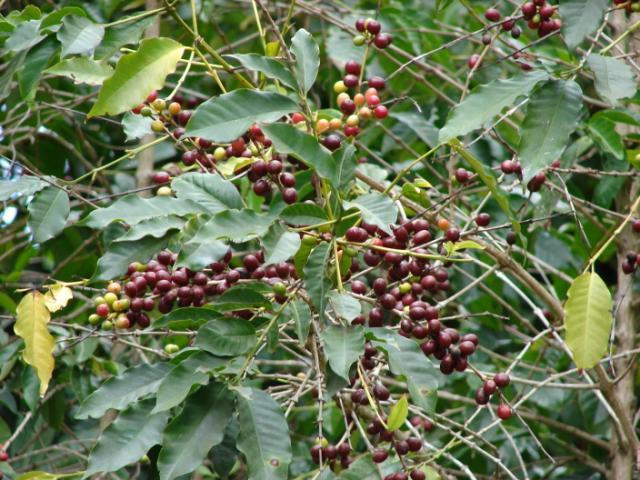 Coffee tree (Coffea arabica), fruit and leaves, Maui