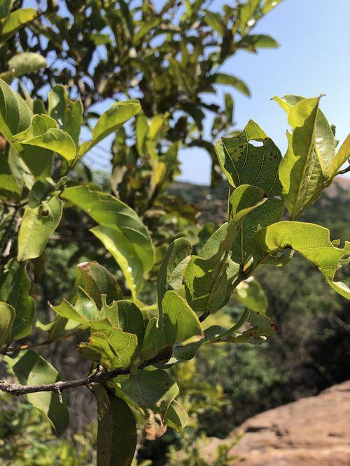Red bush willow (Combretum apiculatum) leaves