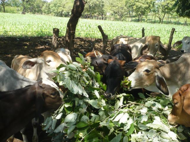 Cows eating foliage of Cratylia (Cratylia argentea) in Nicaragua