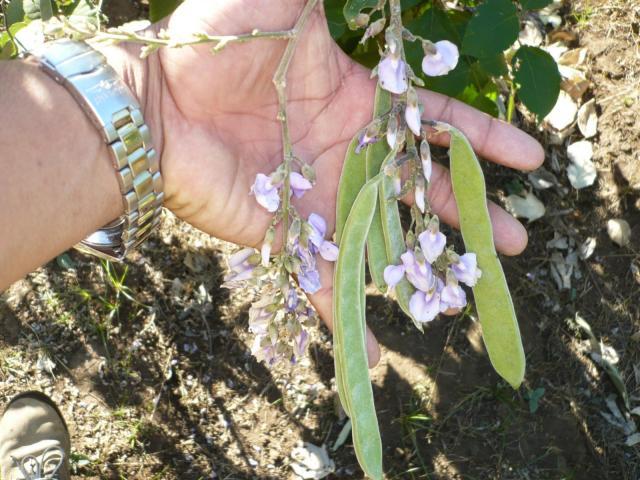Flowers and pods of Cratylia (Cratylia argentea), Leon, Nicaragua