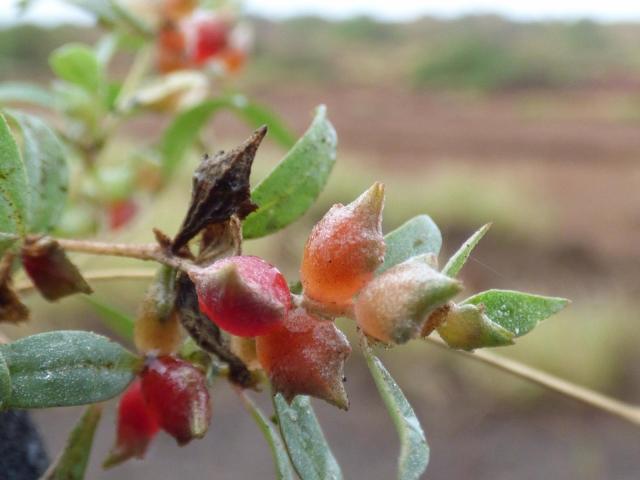 Creeping saltbush (Atriplex semibaccata), fruits