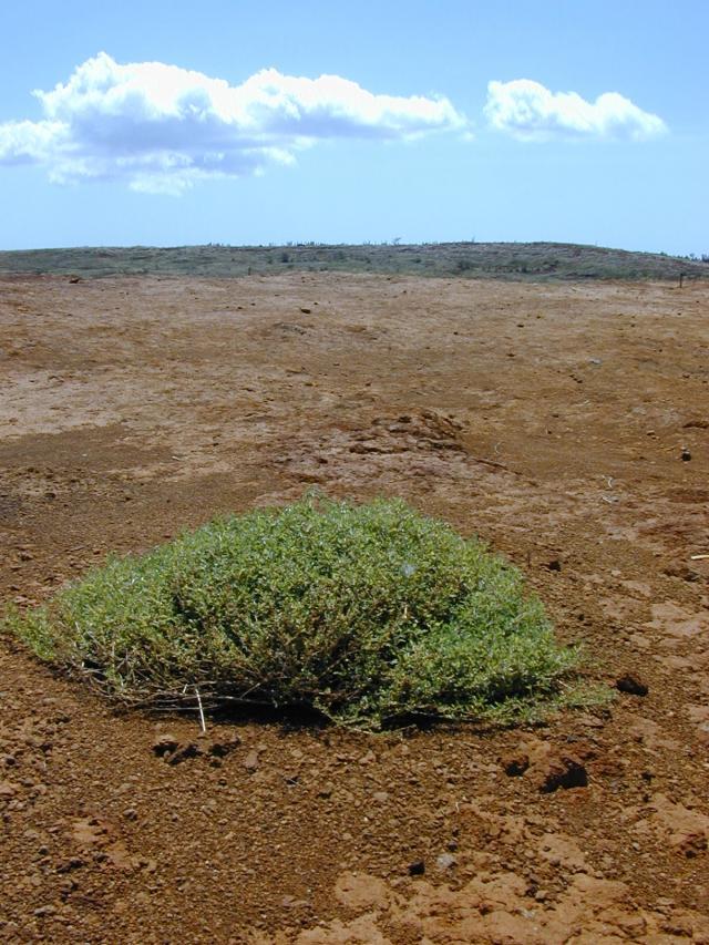 Creeping saltbush (Atriplex semibaccata), habit