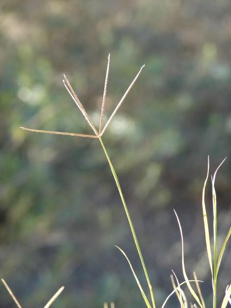 Bermuda grass (Cynodon dactylon) seedhead
