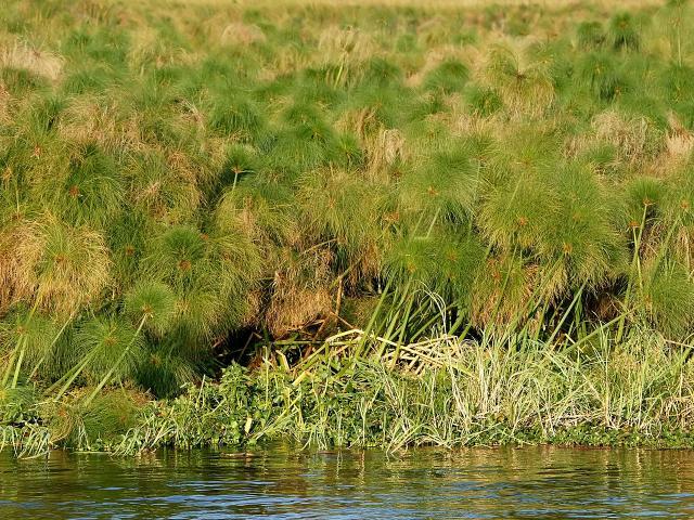 Papyrus (Cyperus papyrus) swamp, Kafue River, Zambia
