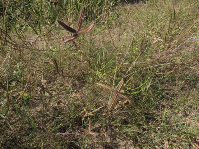 Dactyloctenium aegyptium, Central Vietnam