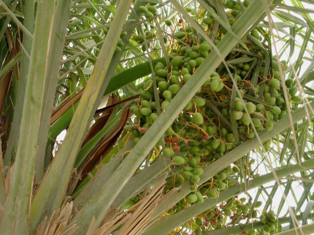 Date fruits on date palm